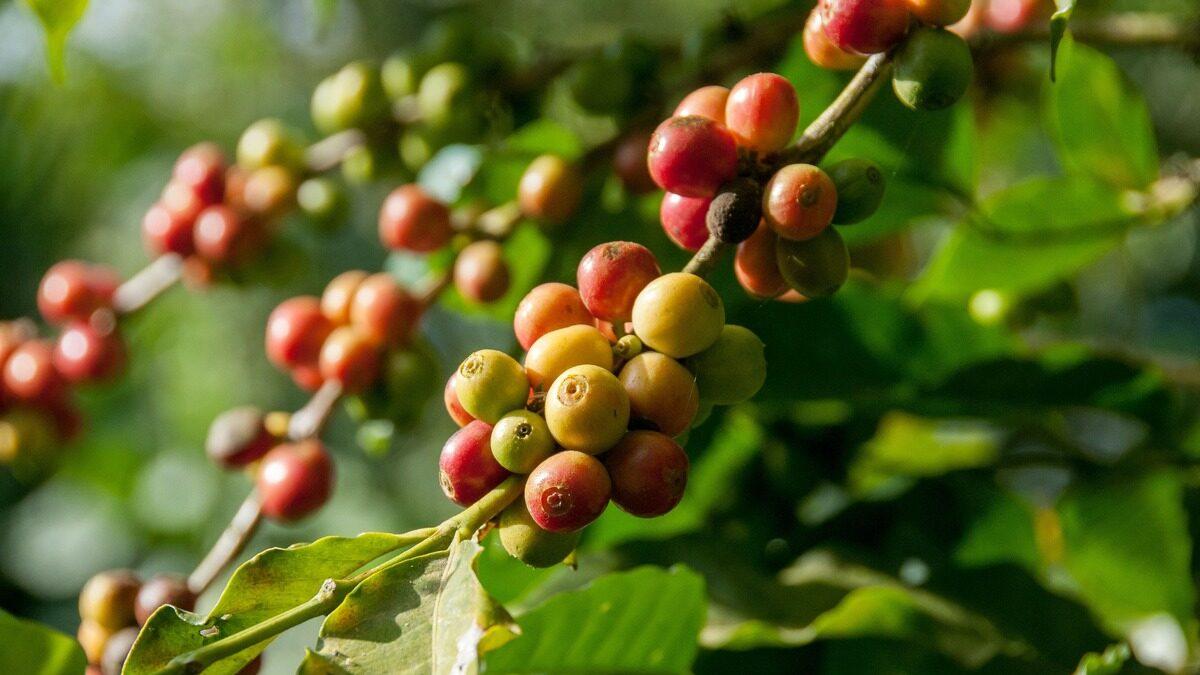 咖啡因 咖啡豆