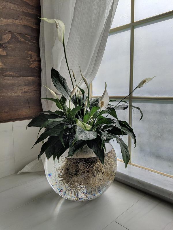 水種植物 - 白鶴芋