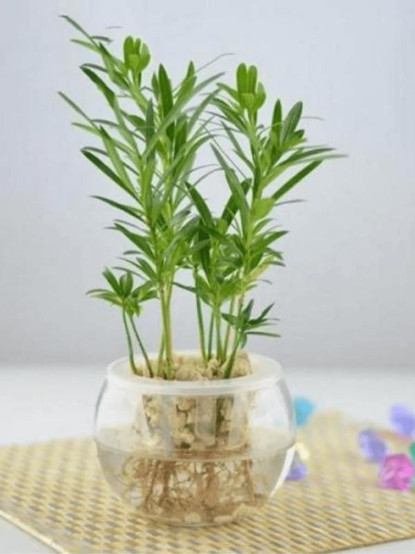 水種植物 - 羅漢松