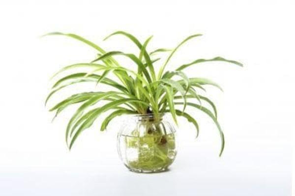 水種植物 - 吊蘭
