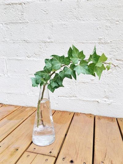 水種植物 - 英國常春藤