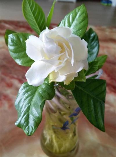 水種植物 - 梔子花/白蟬花