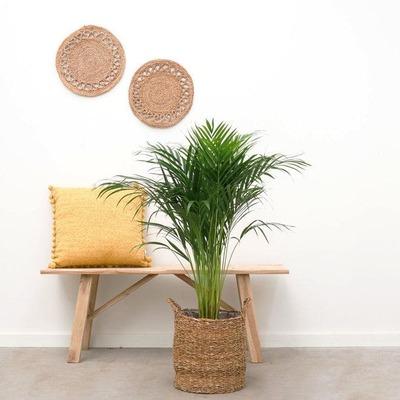 水種植物 - 黃椰子