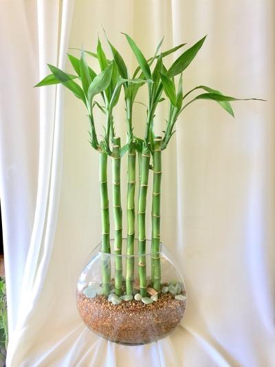 水種植物 - 富貴竹