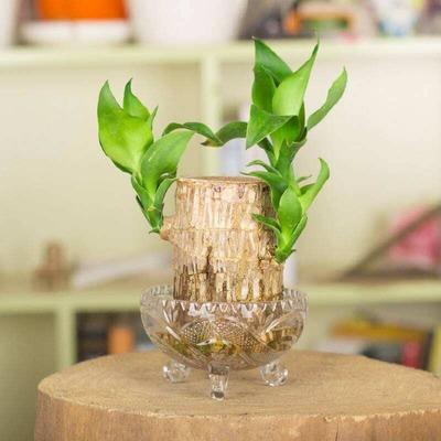 水種植物 - 巴西木