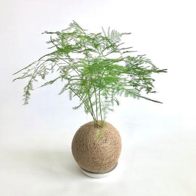 水種植物 - 文竹