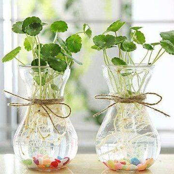 水種植物 - 銅錢草