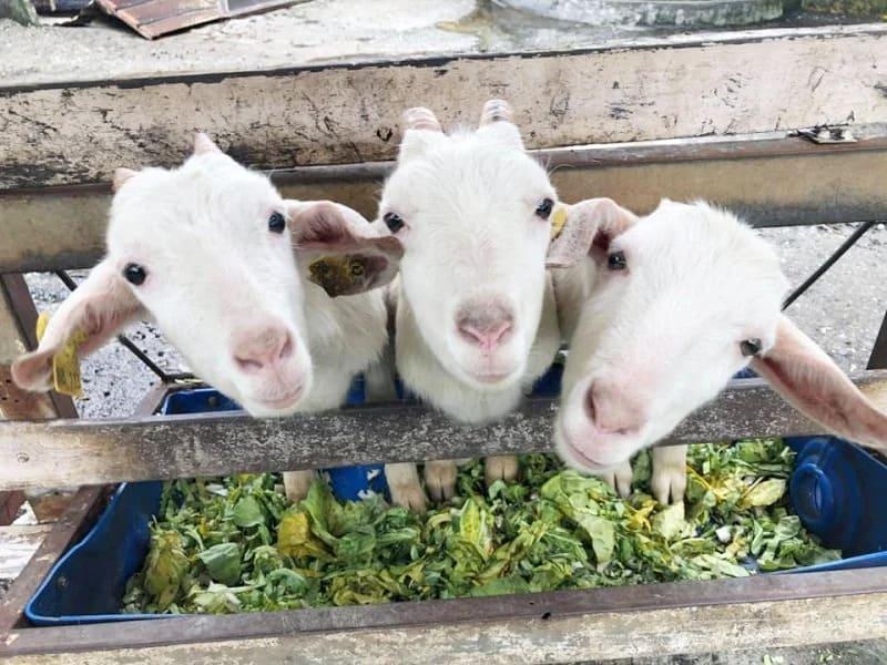 宜蘭景點,幸福 20 號農場可愛小羊