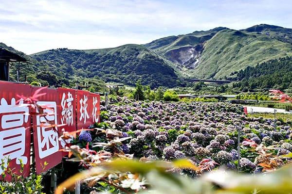 大賞園繡球花田也有主打海芋。