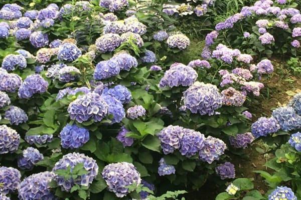 萬里園區是高家繡球花田的第三園區。
