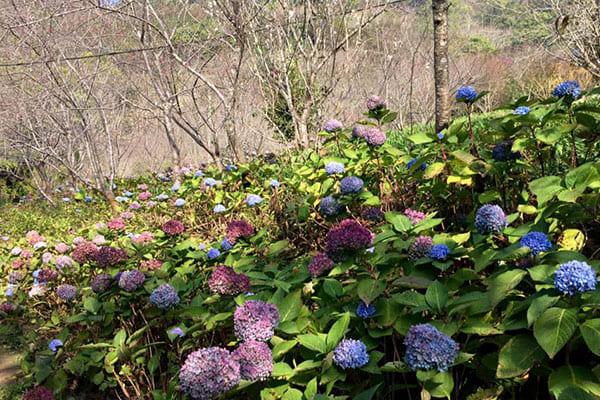 除了繡球花,沐心泉休閒農場的櫻花也非常精采