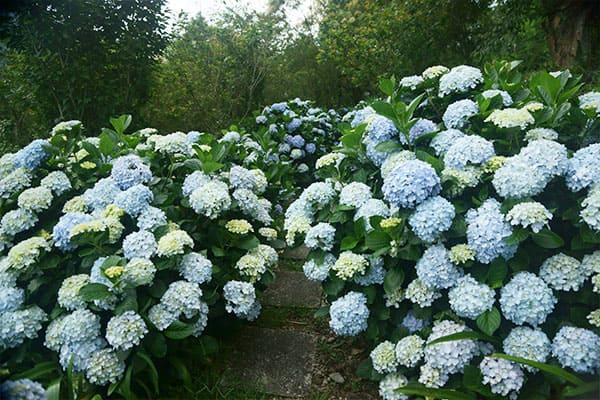 青山農場美美的繡球花步道