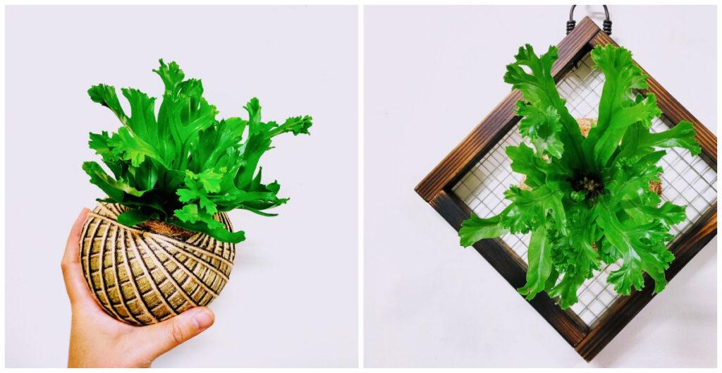 卉色|鹿角山蘇苔球/板植