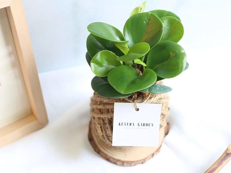 室內迷你盆栽植物種類-圓葉椒草苔球