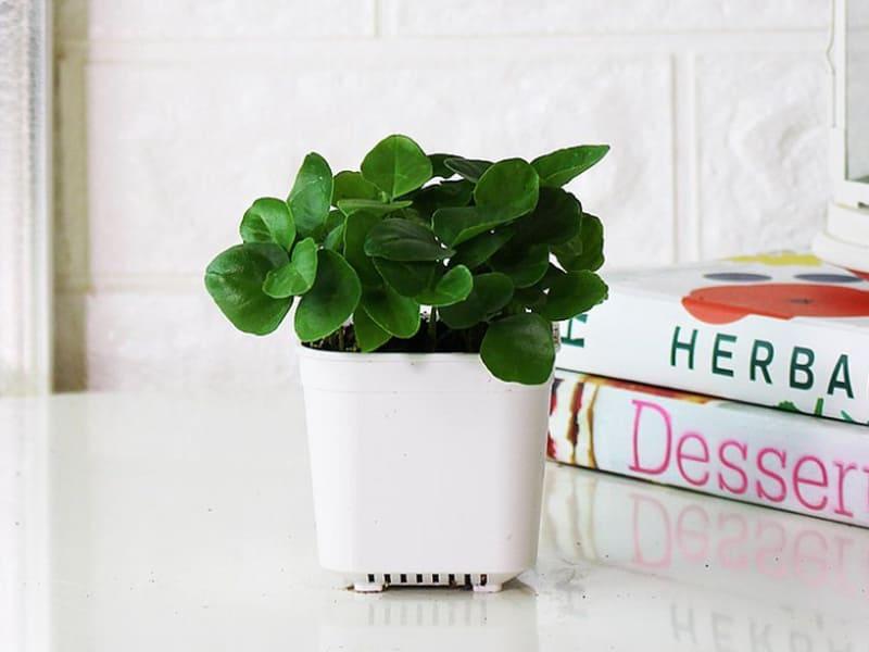室內迷你盆栽植物種類-七里香