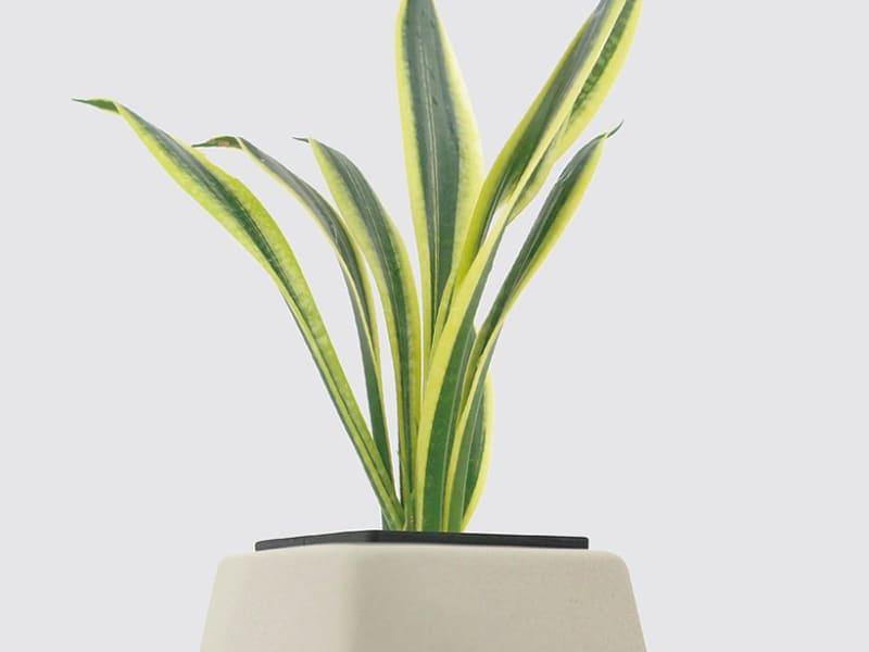 室內小型盆栽植物種類-金剛虎尾蘭