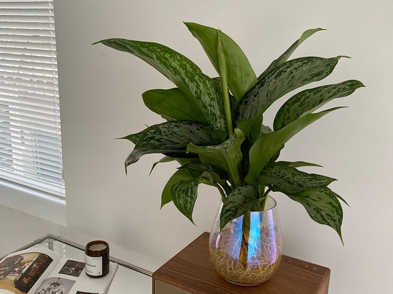 室內小型盆栽植物種類-綠孔雀粗肋草