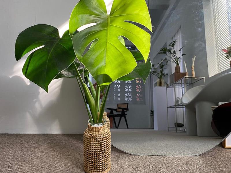 室內大型盆栽植物種類-龜背芋
