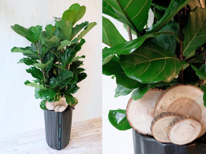 室內大型盆栽植物種類-琴葉榕