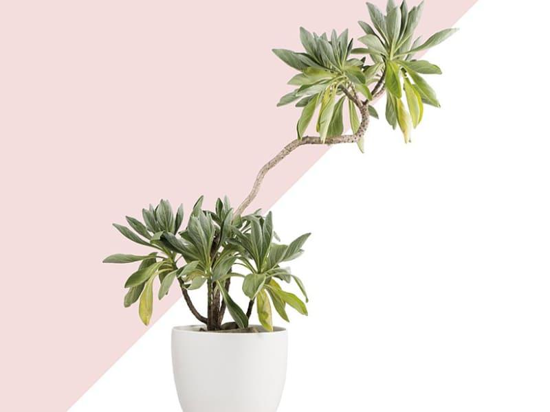 室外大型盆栽植物種類-白水木