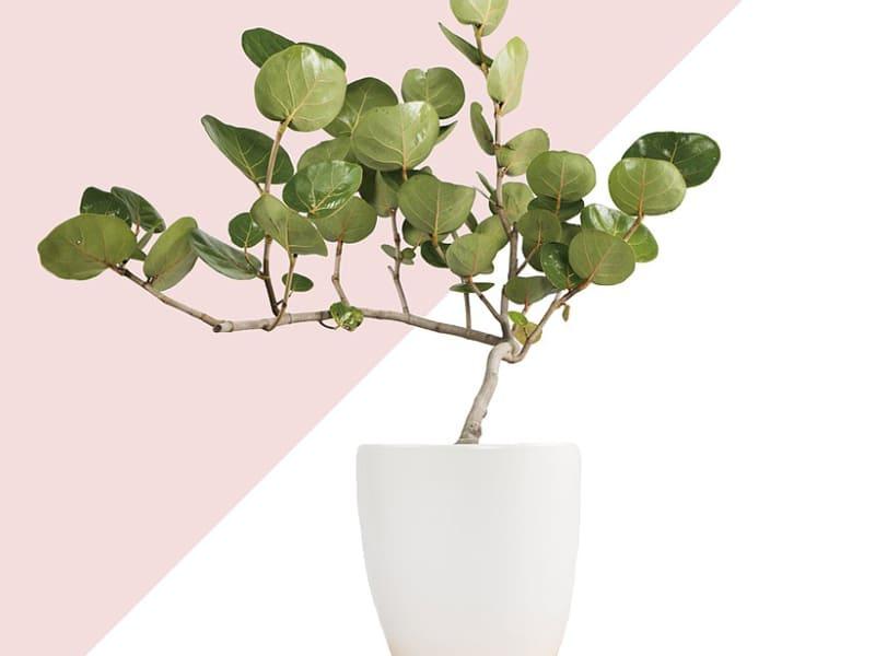 室外大型盆栽植物種類-海葡萄
